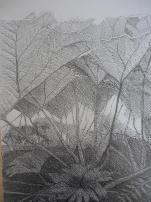 Gunnera (pencil)